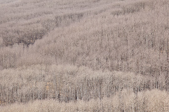 Utah, Boulder Mountain. A hillside of bare aspen trees.