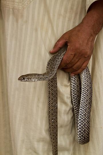 Snake in Snake Charmer's Hands, Morocco