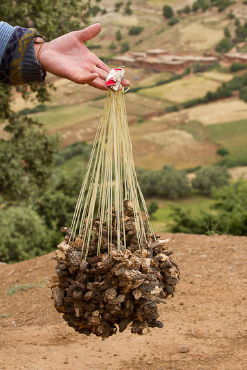 Man holding harvested mushroom, atlas mountains, Morocco