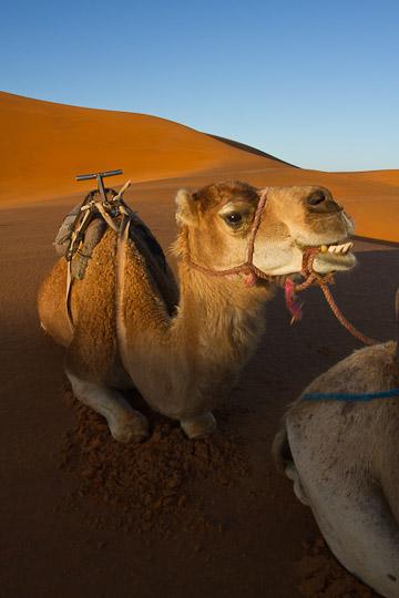 Camel in Sahara, Morocco