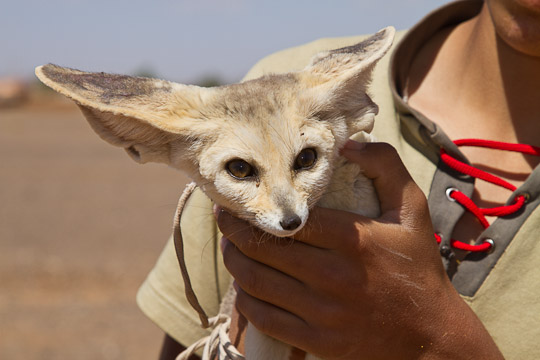 Fennec Fox as pet, Morocco