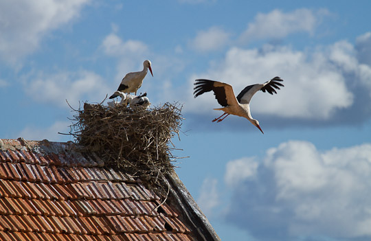 Storks and nest, Morocco
