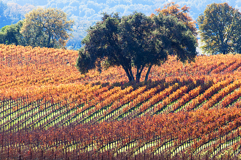 Oak tree in vineyard, autumn, California