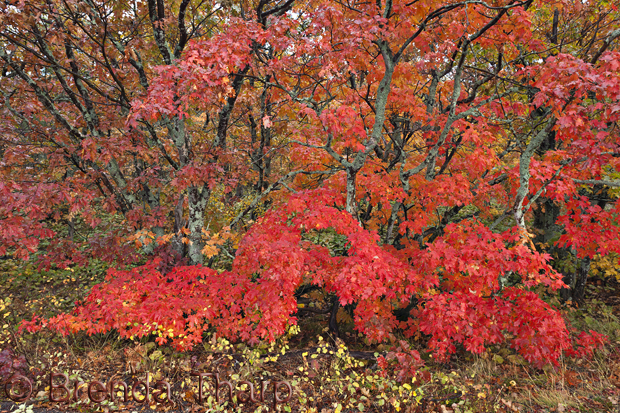 Maple tree, Brockway Summit Drive, Michigan