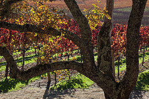 WINE COUNTRY IN AUTUMN