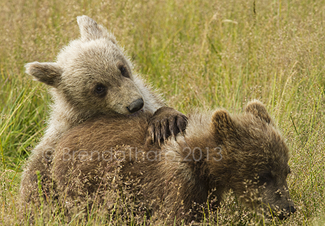 Alaska Bears Photo Tour July 21-25, 2015
